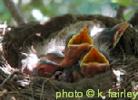 baby-robins-